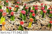 Купить «Cactus in Nong Nooch Tropical Botanical Garden, Pattaya, Thailand.», фото № 11042335, снято 23 августа 2019 г. (c) PantherMedia / Фотобанк Лори