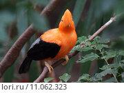 Купить «Andean Cock-of-the-Rock - Rupicola peruvianus», фото № 11062323, снято 19 января 2019 г. (c) PantherMedia / Фотобанк Лори