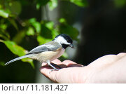 Купить «Black-Capped Chickadee Eating Seed from a Hand», фото № 11181427, снято 19 апреля 2019 г. (c) PantherMedia / Фотобанк Лори