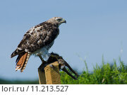Купить «Red-Tailed Hawk With Captured Prey», фото № 11213527, снято 16 сентября 2019 г. (c) PantherMedia / Фотобанк Лори