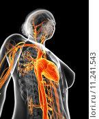 Купить «3d rendered illustration of the female vascular system», фото № 11241543, снято 26 мая 2019 г. (c) PantherMedia / Фотобанк Лори