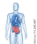 Купить «3d rendered illustration of the male small intestines», фото № 11245447, снято 27 мая 2018 г. (c) PantherMedia / Фотобанк Лори
