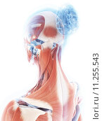 Купить «3d rendered illustration of the female muscle system», фото № 11255543, снято 26 мая 2019 г. (c) PantherMedia / Фотобанк Лори