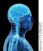 Купить «3d rendered illustration - male brain», фото № 11258927, снято 17 июля 2019 г. (c) PantherMedia / Фотобанк Лори