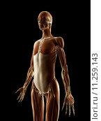 Купить «medical illustration of the female muscles», фото № 11259143, снято 26 мая 2019 г. (c) PantherMedia / Фотобанк Лори