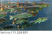Купить «school trout fishes swarm bergforelle», фото № 11324831, снято 15 декабря 2017 г. (c) PantherMedia / Фотобанк Лори
