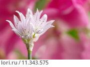 Купить «Schnittlauchblüte / Allium schoenoprasum», фото № 11343575, снято 1 июня 2020 г. (c) PantherMedia / Фотобанк Лори