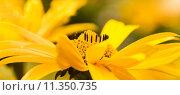 Купить «Yellow summerflowers summer pano», фото № 11350735, снято 14 ноября 2018 г. (c) PantherMedia / Фотобанк Лори
