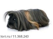 Купить «Peruvian Guinea Pig», фото № 11368243, снято 20 октября 2019 г. (c) PantherMedia / Фотобанк Лори