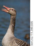 Купить «bird birds tongue duck cackle», фото № 11390035, снято 18 июня 2019 г. (c) PantherMedia / Фотобанк Лори