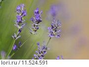 Купить «plant flower table lavender blossoms», фото № 11524591, снято 17 октября 2018 г. (c) PantherMedia / Фотобанк Лори
