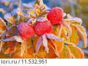 Купить «red fruit tea bush shrub», фото № 11532951, снято 4 апреля 2020 г. (c) PantherMedia / Фотобанк Лори