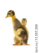 Купить «animals indian runner escargots ducks», фото № 11557399, снято 19 июня 2019 г. (c) PantherMedia / Фотобанк Лори