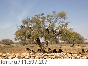 Купить «Goats on the tree», фото № 11597207, снято 25 мая 2019 г. (c) PantherMedia / Фотобанк Лори