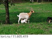 Купить «agriculture mammal farming mothers goat», фото № 11605419, снято 27 мая 2019 г. (c) PantherMedia / Фотобанк Лори