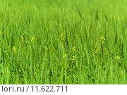 Купить «Young Wheat Crop In A Field», фото № 11622711, снято 19 декабря 2018 г. (c) PantherMedia / Фотобанк Лори