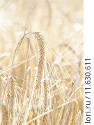 Купить «Ripe wheat», фото № 11630611, снято 19 декабря 2018 г. (c) PantherMedia / Фотобанк Лори