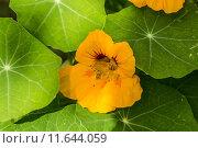 Купить «herb blossoms weed tendrils nasturtium», фото № 11644059, снято 16 октября 2018 г. (c) PantherMedia / Фотобанк Лори