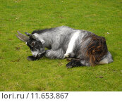 Купить «Pygmy Goat - Capra aegagrus», фото № 11653867, снято 27 марта 2019 г. (c) PantherMedia / Фотобанк Лори