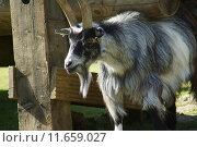 Купить «Pygmy Goat - Capra aegagrus», фото № 11659027, снято 27 марта 2019 г. (c) PantherMedia / Фотобанк Лори