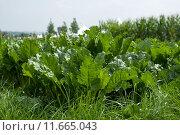 Купить «germany cultigen beta vulgaris fuchsschwanzgewaechse», фото № 11665043, снято 15 декабря 2018 г. (c) PantherMedia / Фотобанк Лори