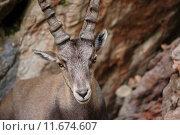 Купить «Alpine Ibex», фото № 11674607, снято 25 мая 2019 г. (c) PantherMedia / Фотобанк Лори
