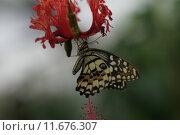 Купить «tropical exotic butterfly karierter schwalbenschwanz», фото № 11676307, снято 23 января 2019 г. (c) PantherMedia / Фотобанк Лори