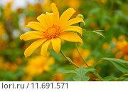 Купить «Mexican Sunflower Weed, Northern Thailand», фото № 11691571, снято 27 мая 2019 г. (c) PantherMedia / Фотобанк Лори