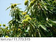 Купить «Каштан посевной с плодами (Castanea sativa)», фото № 11773515, снято 23 января 2018 г. (c) Сергей Куров / Фотобанк Лори