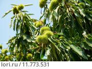 Купить «Каштан посевной с плодами (Castanea sativa)», фото № 11773531, снято 23 января 2018 г. (c) Сергей Куров / Фотобанк Лори