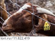 Купить «Sad Goat», фото № 11822419, снято 27 мая 2019 г. (c) PantherMedia / Фотобанк Лори