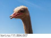 Купить «Портрет страуса на фоне синего неба», фото № 11884007, снято 4 мая 2015 г. (c) Anna P. / Фотобанк Лори