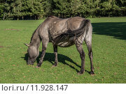 Купить «horse horses lmener wildpferde gregarious», фото № 11928147, снято 26 марта 2019 г. (c) PantherMedia / Фотобанк Лори