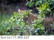 Купить «nature animal africa cat safari», фото № 11965227, снято 21 марта 2019 г. (c) PantherMedia / Фотобанк Лори