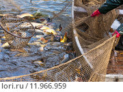 Купить «Autumn harvest of carps from fishpond to christmas markets in Czech republic. In Central Europe fish is a traditional part of a Christmas Eve dinner.», фото № 11966959, снято 20 апреля 2019 г. (c) PantherMedia / Фотобанк Лори