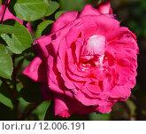 Купить «Роза чайно-гибридная Чарльз Роуз (Акапелла, А Капелла) (лат. Charlies Rose (Acapella), Розен Тантау, 1994», эксклюзивное фото № 12006191, снято 24 августа 2015 г. (c) lana1501 / Фотобанк Лори