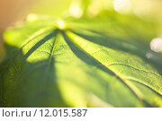 Купить «Closeup of the green maple leaf in the sunshine», фото № 12015587, снято 19 сентября 2018 г. (c) PantherMedia / Фотобанк Лори