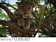 Купить «animal tree africa cat safari», фото № 12032827, снято 21 марта 2019 г. (c) PantherMedia / Фотобанк Лори