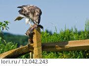 Купить «Red-Tailed Hawk Eating Captured Rabbit», фото № 12042243, снято 15 октября 2019 г. (c) PantherMedia / Фотобанк Лори