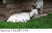 Купить «Белая домашняя коза лежит на траве», видеоролик № 12097119, снято 23 октября 2018 г. (c) FotograFF / Фотобанк Лори