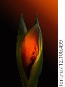 Купить «bud fiery amaryllis green red», фото № 12100499, снято 5 июня 2020 г. (c) PantherMedia / Фотобанк Лори