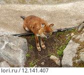 Купить «Молодой смешной красный волк (Cuon alpinus)», фото № 12141407, снято 11 июля 2015 г. (c) Валерия Попова / Фотобанк Лори