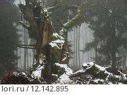 Купить «trunk fog oak eichenwald gerichtseiche», фото № 12142895, снято 22 мая 2019 г. (c) PantherMedia / Фотобанк Лори