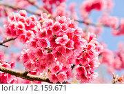 Купить «Wild Himalayan cherry in Thailand», фото № 12159671, снято 27 мая 2019 г. (c) PantherMedia / Фотобанк Лори