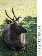 Купить «Deer in Khao Yai National Park, Thailand», фото № 12188371, снято 27 мая 2019 г. (c) PantherMedia / Фотобанк Лори