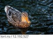 Купить «Duck on the water», фото № 12192527, снято 22 мая 2019 г. (c) PantherMedia / Фотобанк Лори