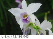 Купить «Purple white Cymbidium orchid flower», фото № 12198043, снято 25 марта 2019 г. (c) PantherMedia / Фотобанк Лори
