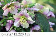 Купить «blossoms bleed christmas rose fr», фото № 12220155, снято 22 сентября 2018 г. (c) PantherMedia / Фотобанк Лори