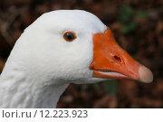 Купить «goose geese geeser gander waterfowls», фото № 12223923, снято 23 июля 2019 г. (c) PantherMedia / Фотобанк Лори