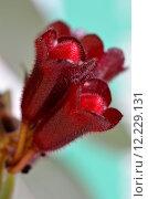 Купить «toxic poisonous aeschynanthus decorative plant», фото № 12229131, снято 21 марта 2019 г. (c) PantherMedia / Фотобанк Лори
